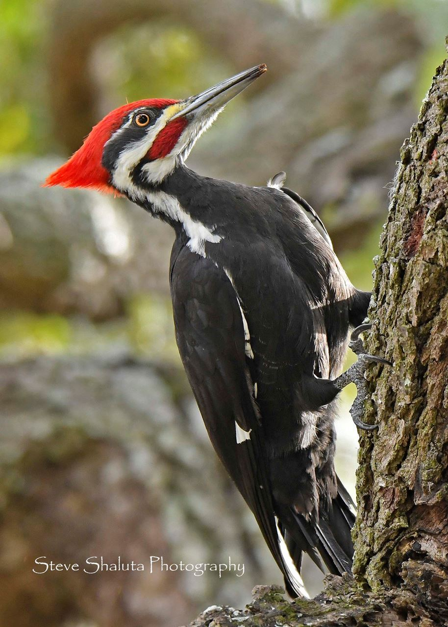 Photo Pileated Woodpecker